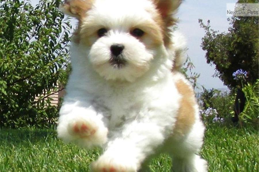havanese puppies for sale - photo #42