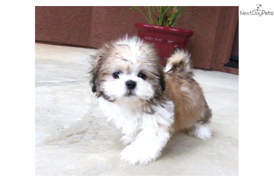 Mal-Shi - Malshi puppy for sale - 45.4KB