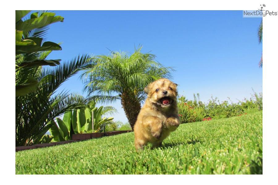 malti pom   maltipom puppy for sale near san diego