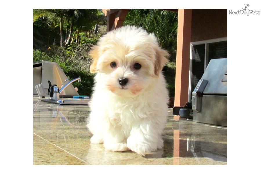 AKC Malti Poo Puppies For Sale in California, San Diego ...