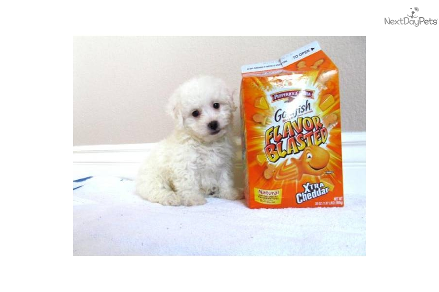 Malti Poos for Sale in San Diego   Pets on Oodle Classifieds