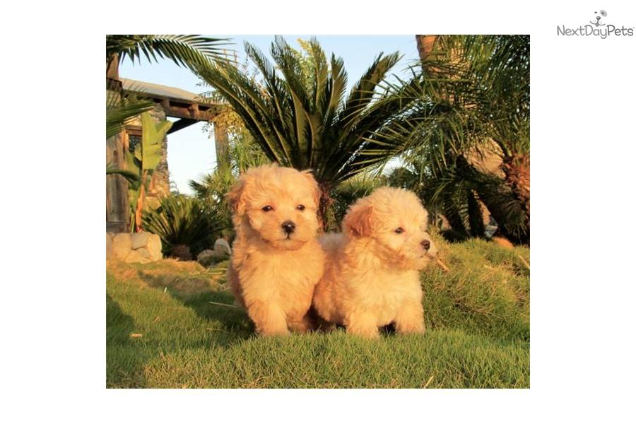 Maltipoo Dogs for Adoption near San Diego, California, USA ...