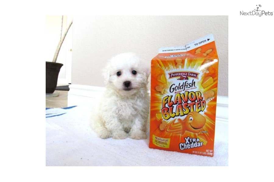 Malteses for Sale in San Diego   Dogs on Oodle Classifieds