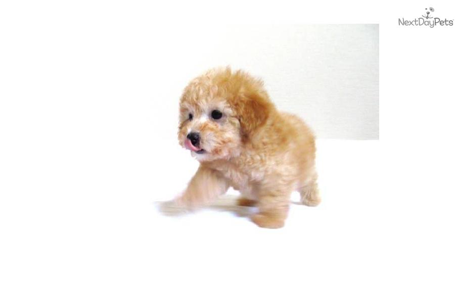 Maltipoo Puppies For Sale In California - Local Puppy Breeders