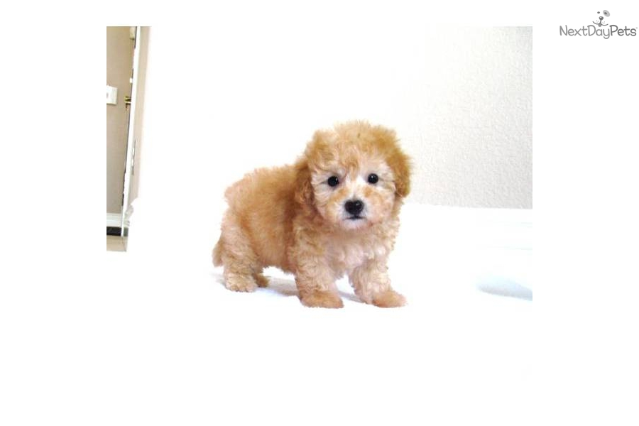 Maltipoo Puppies for Sale in California - Mystic Creek Puppies
