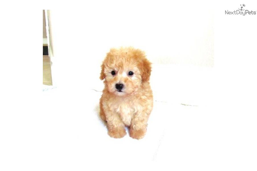 Red Head Heaven Poodles- Toy Poodle Breeders In Southern ...