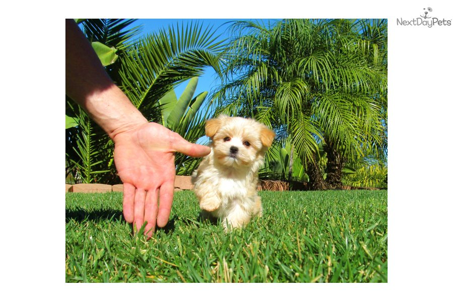 Related Pictures yorktese puppy yorkie maltese hybrid bred by sunrise