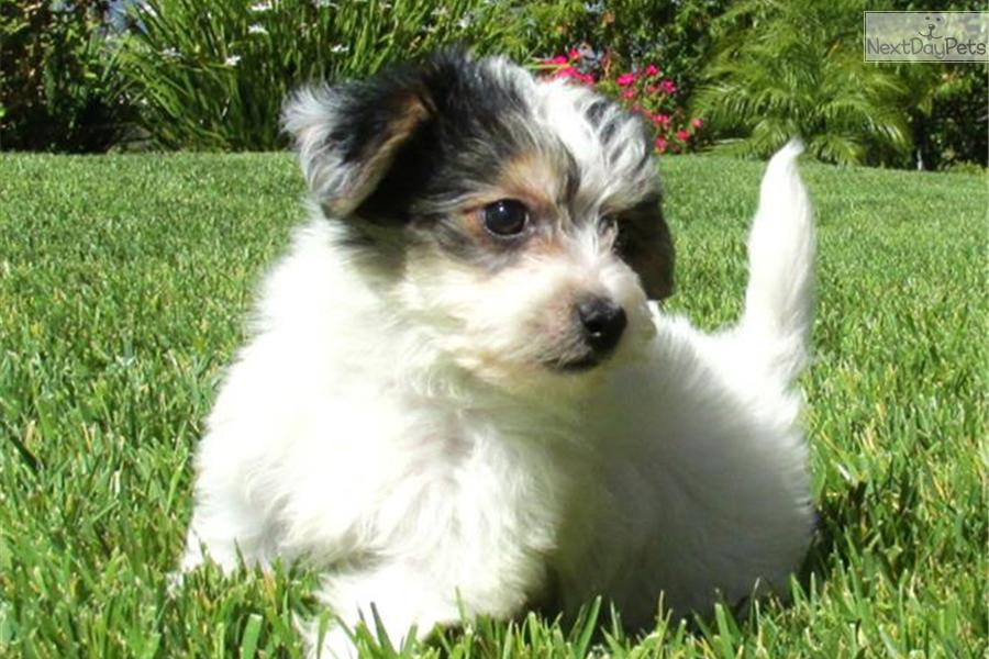 Cannon a cute Morkie / Yorktese puppy for sale for $895. Morkie Puppy ...