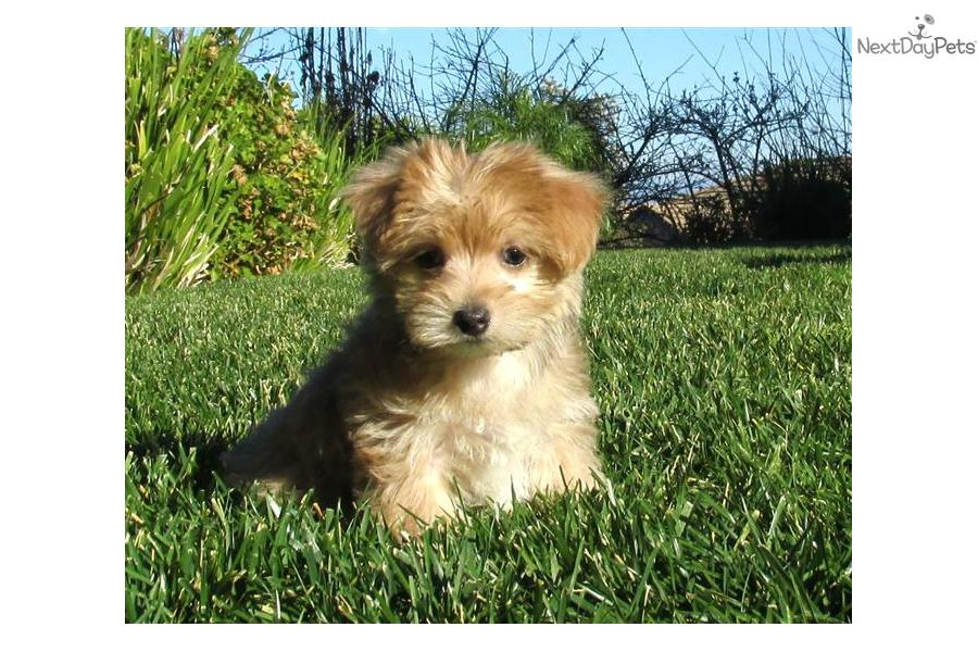 cute Morkie / Yorktese puppy for sale for $995. Adorable male Morkie ...