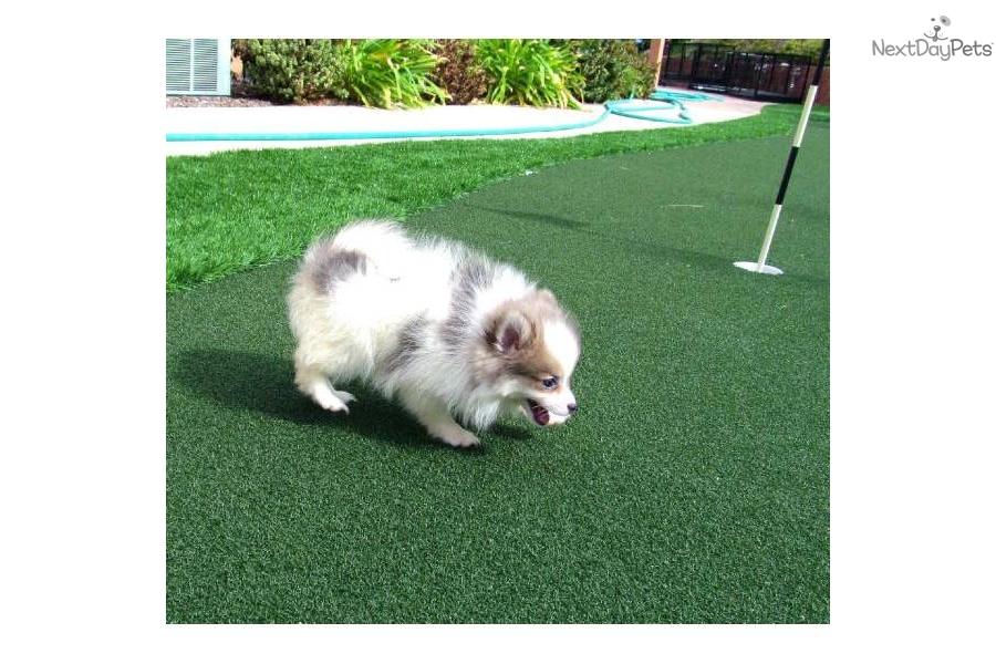 pomsky-female-puppy-hybrid-pom-husky-san-diego-cadog-mixed-other-puppy ...