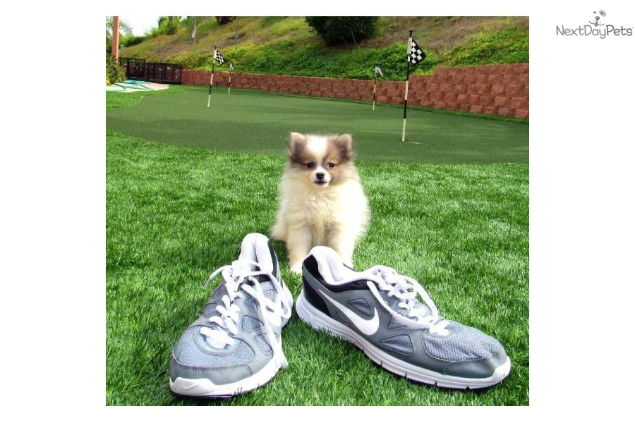 pomsky-female-puppy-hybrid-pom-husky-san-diego-cadog-mixed-other-puppy