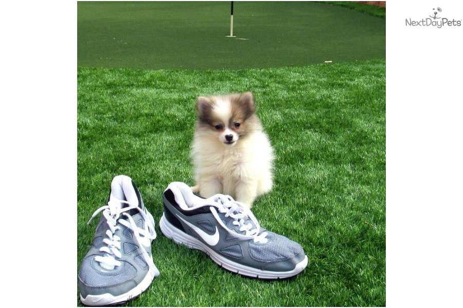 Meet Stiletto Cute Mixed Other Puppy For Sale Pomsky