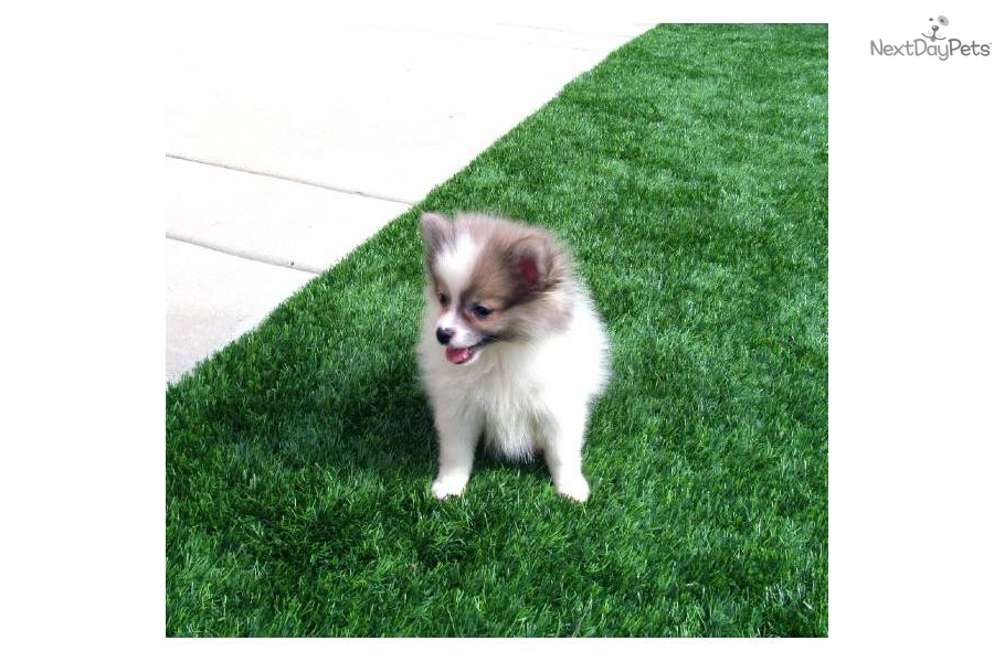 Puppy For Sale For 1 200 Pomsky Female Puppy Hybrid Pom Husky San