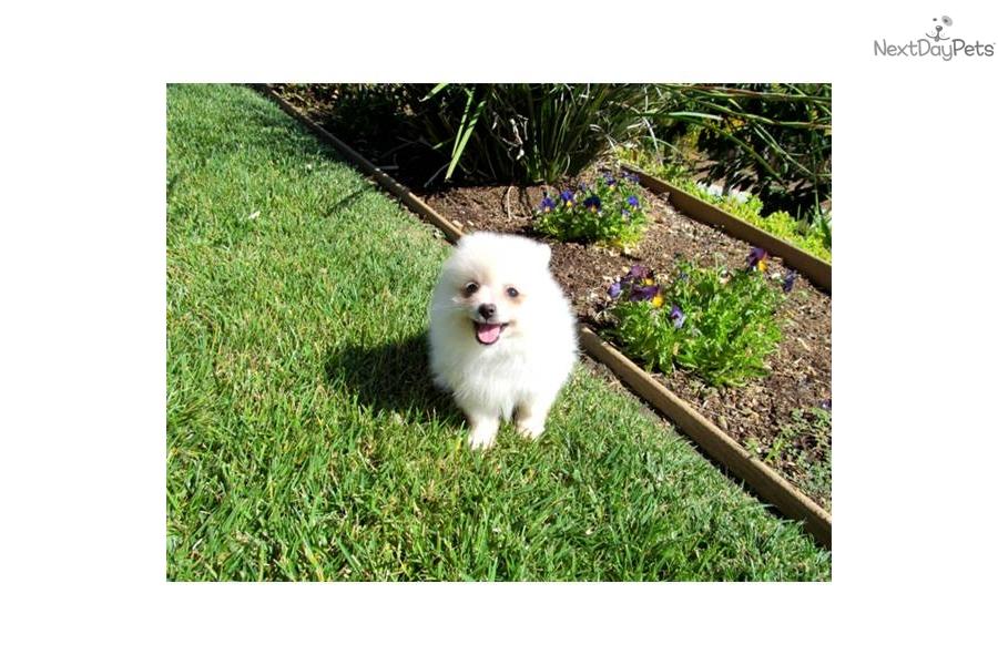 ... san diego ca pomeranian puppies for sale in san diego cadog pomeranian