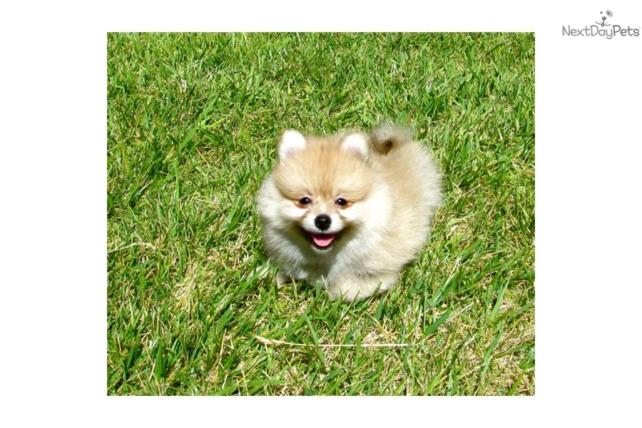 Pomeranian puppy for sale for $695. TEACUP POM for sale in San Diego