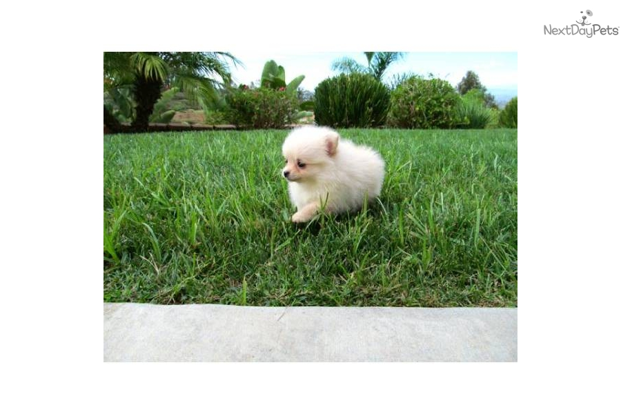 for sale for $2,200. Teacup Pomeranian Female Puppy For Sale San Diego