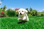 Picture of Super Cute Bichon Frise Male Puppy 4 Sale!!!!