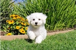 Picture of PRECIOUS!! - ACA Bichon Frise Male Puppy 4 Sale!!