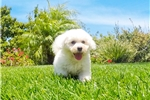 Picture of Super Handsome ACA Bichon Frise Male Puppy!