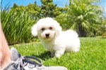 Super Handsome ACA Bichon Frise Male Puppy! | Puppy at 10 weeks of age for sale