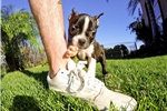 Picture of AWESOME! ACA Boston Terrier Male Puppy 4 Sale