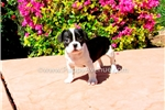 Picture of Adorable Frenchton Hybrid Male Puppy for Sale!