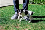 Picture of AKC Boston Terrier Female Puppy 619-786-7362