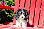 Picture of Adorably Tiny Cavachon Female Puppy 4 Sale!