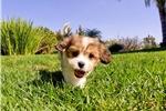 Picture of Fabulous Female Cavachon Puppy for Sale!