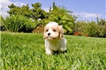 Picture of GORGEOUS!! - Cavachon Hybrid Female Puppy 4 Sale!