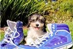 Picture of Precious Cavahon Female Hybrid Puppy 4 Sale!!