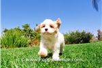 Picture of Stunning Cava Chon Hybrid Female Puppy for Sale!!!