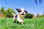 Picture of SUPER HANDSOME - CavaChon Male Puppy for sale!