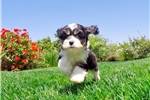 Picture of PERFECT!! - CavaChon Hybrid Male Puppy Available!