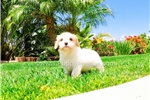 Picture of Gorgeous Cavachon Hybrid Female Puppy For Sale!!