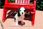 Picture of Adorable Cavalier King Charles Spaniel Puppy!!!