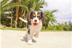 Picture of Super Cute AKC Cavalier Female Puppy 4 Sale!