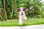 Picture of Adorable AKC Cavalier Male Puppy Available in SD!!