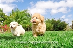 Picture of STUNNING!! - CavaPoo Hybrid Male Puppy 4 Sale!!!