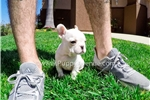 Picture of Absolutely Gorgeous AKC French Bulldog Female!!