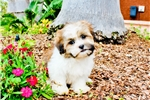 Picture of WOW!! - Super Handsome Teddy Bear Male Puppy!
