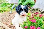 Picture of Stunning Teddy Bear Mal-Shih Hybrid Female Puppy!!