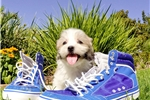 Picture of WOW!! - Super Cute Mal-Shih Male Puppy!