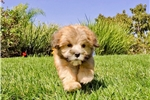 Picture of Super Cute Teddy Bear Hybrid Female Puppy 4 Sale!!