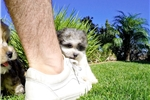 Picture of FABULOUS! - Teddy Bear Female Hybrid Puppy 4 Sale!