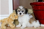 Picture of WOW! - Teddy Bear Male Hybrid Puppy 4 Sale!!