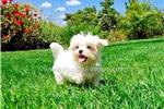 Picture of PERFECT!! - ACA Maltese Female Puppy 4 Sale!