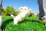 Picture of Super Tiny ACA Maltese Female Puppy 4 SALE!!
