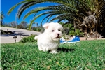 Picture of Super Tiny AKC Maltese Female Puppy for Sale!