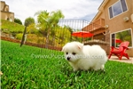 Picture of a Malti Pom - Maltipom Puppy